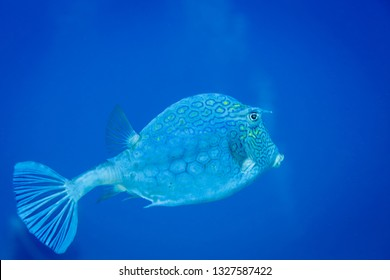 Closeup of a sideview of the beautifully patterned Cow fish