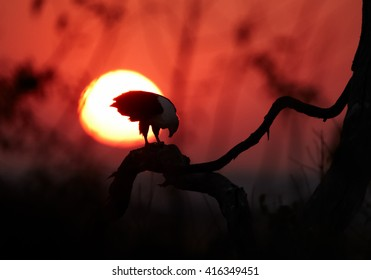 Close-up silhouette of an african raptor,  African fish eagle, Haliaeetus vocifer eating fish on branch against solar disc in red colored early morning on Chobe river, Botswana.