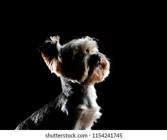 Closeup silhouette head portrait of a yorkie dog looking up