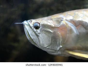 Closeup of the Silver arowana (Osteoglossum bicirrhosum)