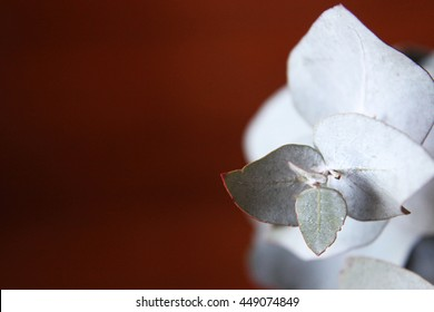 Closeup of silver ghost gum tree leaves