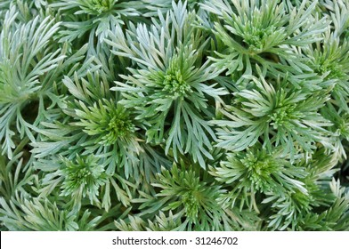 Closeup of Silver Mound Artemisia for a background