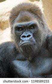 Closeup of a silverback gorilla