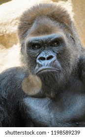 Closeup of a silverback gorilla