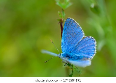 close-up of silver-studded blue butterfly(Plebejus argus) in natural environment. green blurred background. wings open
