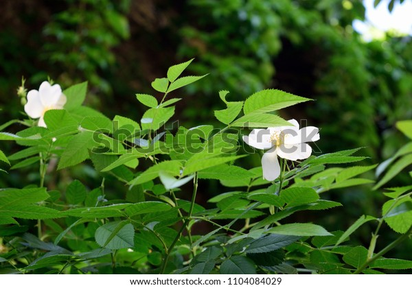 close-up of simple white wild flower against green background