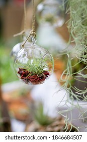 Closeup of single air plant tillandsia in transparent circular glass bubble hanging with rope with ceiling leaves falling over it