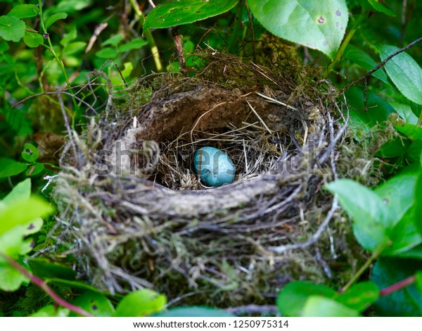 Close-up of a single American Robin egg in a nest located in the Quinault Rainforest, Washington state.