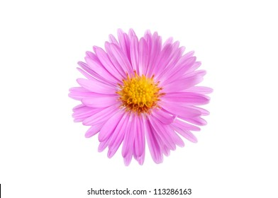 Closeup of a single aster, Michaelmas, daisy isolated against white