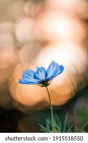 Close-up of single cosmos flower with blue petals. Sunset with bokeh bubbles in the background. Magical dust floating in the air