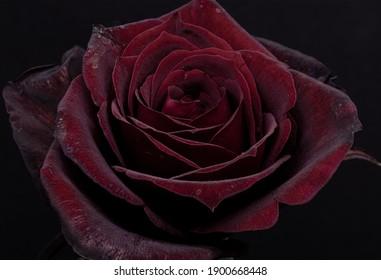 Close-up single flower on a dark background