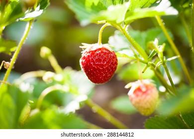 Closeup of single fresh organic strawberry growing on family garden