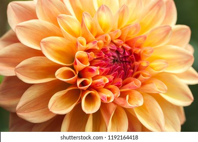 "Close-up of a single orange, carroty dahlia bloom. The national flower of Mexico. Meaning: ""Staying graceful under pressure, especially in challenging situations"". Detail shot. Variety: Punkin Spice."