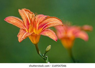 Close-up of a single orange day lily (Hemerocallis fulva) in full bloom. Also known as Orange Daylily, Common Daylily, Tawny Daylily. Selective focus with shallow depth of field.