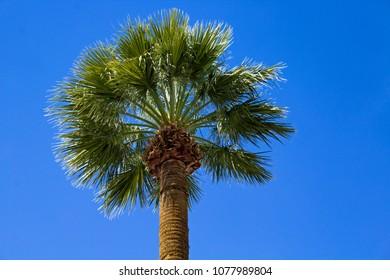 Closeup of a Single Palm Tree Against a Blue Sky