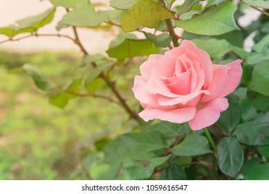 Close-up single pink rose flower at peak blooming in the garden/park. Beautiful pink roses on tree bush with greenery leaves background.
