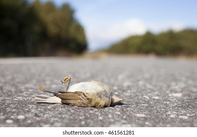 Closeup of single small bird on road, hit by car, at sunny summer day