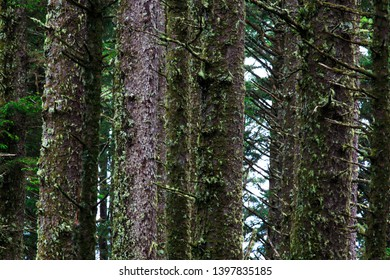 Close-Up Of Sitka Spruce Forest On The Oregon Coast