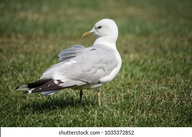 Closeup of a sitting seagull on green gras.