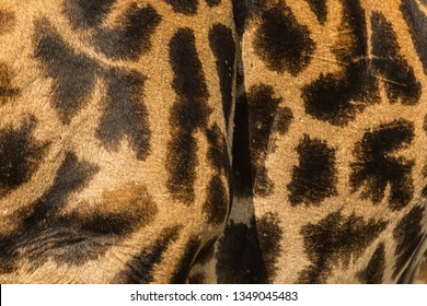 Close-up of skin of a Masai giraffe (Giraffa camelopardalis tippelskirchi) in high resolution.