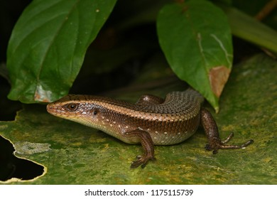 closeup skink lizard