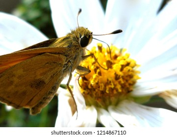 Closeup of Skipper Butterfly on Cosmos Flower: A banded or grass skipper, this insect is also called a moth. Popular in North America, it may be a Leonard's or Sachem Skipper.