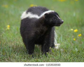 A Close-up of a Skunk