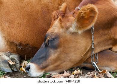Closeup of sleeping cow