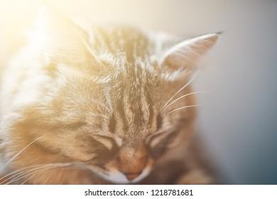 Close-up Sleeping Cute Cat. Portrait of grey cat sleeping. Sleeping striped tomcat - perfect dream.