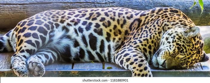 Closeup of sleeping jaguar