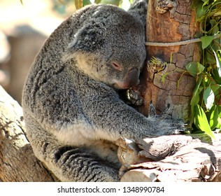 Close-up of a sleeping Koala in an eucalyptus tree