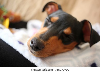 Closeup of a Sleeping Puppy.