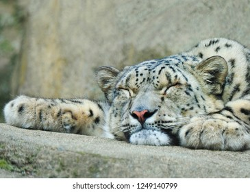 Closeup of a Sleeping Snow Leopardon a Rock