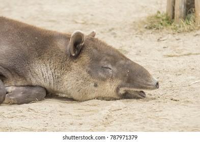 Closeup of sleeping tapir