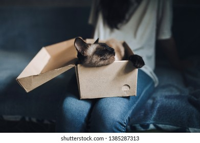 Close-up of a sleepy, brown Siamese cat lying in a cardboard box on the legs of the girl's hostess. Cat games and habits. Cute and beautiful pet in your home. Funny muzzle.