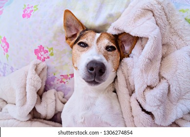 Closeup of sleepy muzzle puppy jack russell terrier dog lies in blanket, looking at camera