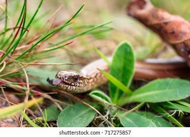 Closeup of slowworm, also known as blindworm, (Anguis fragilis) a legless lizard on forest floor. Focus on eyes.