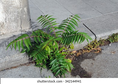Closeup of a small ailanthus altissima, tree of heaven, a fast growing invasive plant