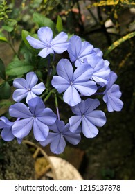 Closeup of a small branch of blue jasmine with flowers and buds.