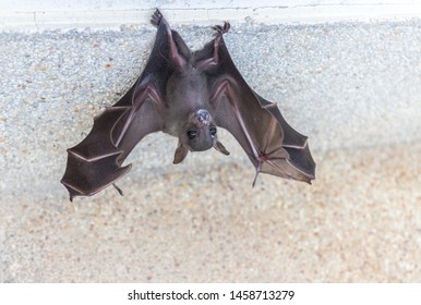 Closeup the small brown bat or the short-nosed fruit bat is hanging for the rest with the concrete wall edge