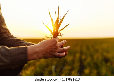 Closeup of a small bush of wheat grass in the hands of a young man on the green field. A boy dug up and holding a little plant in the middle of a lawn on the sunset. Agricultural concept.