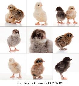 close-up small fluffy chickens on a light background studio