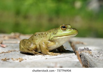 Closeup of Small Green Frog Sitting on Wooden Deck near Water with Blurry Background