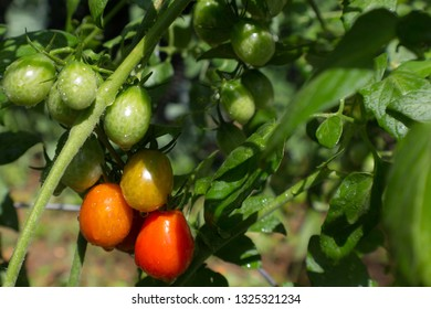 Closeup of small green and red grape tomatoes in a home garden