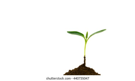 Close-up small green young plant growing up from black heap soil over isolated white background. Green spout for save/safe conservation environment. Organic growing, clean ecosystem concept. Panorama.