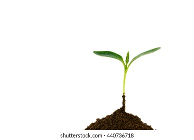 Close-up of small green young plant growing up from black heap soil over isolated white background. Green spout for save and safe conservation environment. Organic growing and clean ecosystem concept.