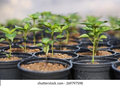 Closeup of small hot pepper saplings in pots.