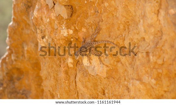 Close-up of a small lizard on a rock in a northern Arizona desert.