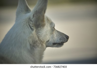 close-up of a small meticulous dog taken from behind while looking forward to its next goal. The small pet profile is well known.