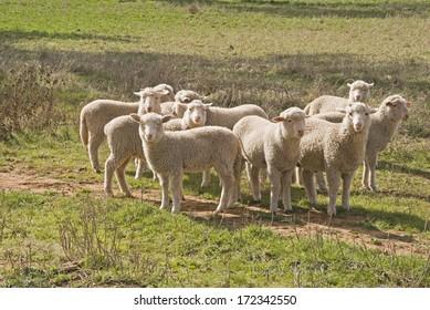 a closeup of a small mob of lambs